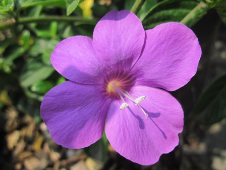 barleria-&quotpurple-prince""
