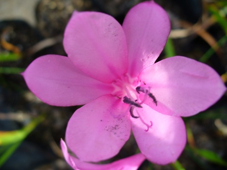 barleria-repens-&quotpink""