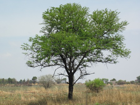 acacia-karoo