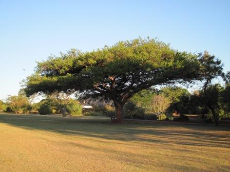 acacia-sieberiana-ssp-woodii