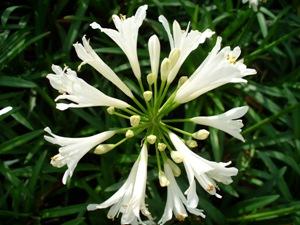 agapanthus-nana