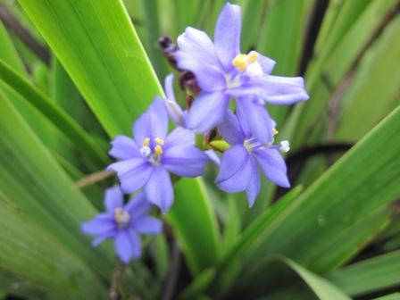 aristea-ecklonii
