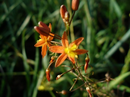 bulbine-frutescens