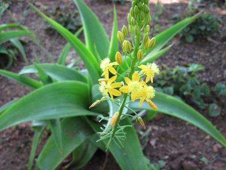 bulbine-natalensis