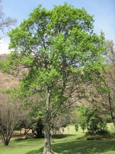combretum-erythrophyllum