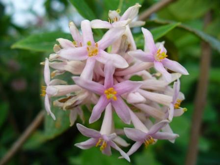 dais-cotinifolia