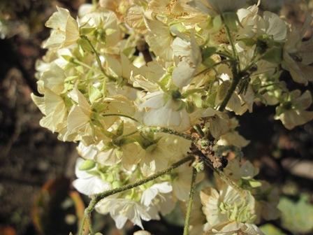 dombeya-rotundifolia