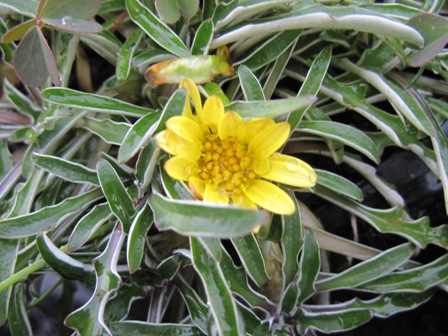 dymondia-margaratae