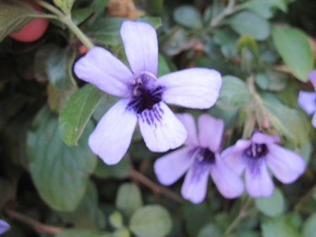 dyschoriste-thunbergiflora