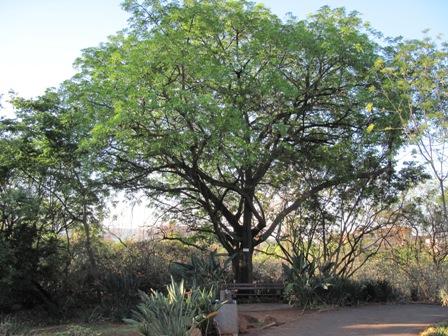 ekebergia-capensis