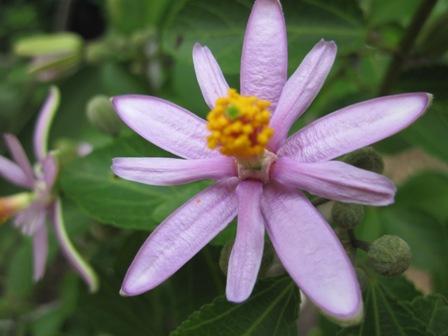 grewia-occidentalis
