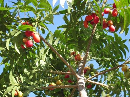 harpephyllum-caffrum