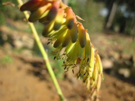 kniphofia-parviflora