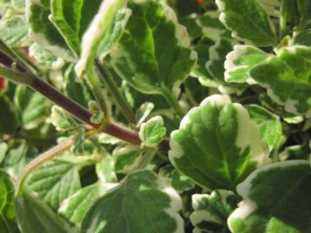 plectranthus-aliciae--madagascariensis