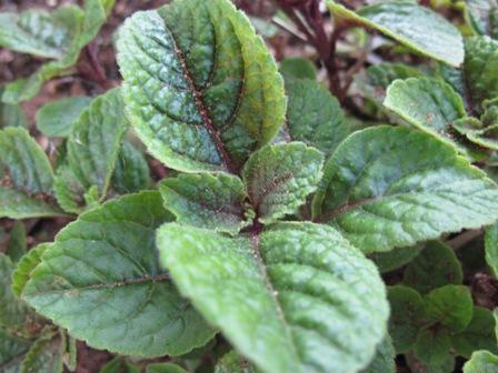 plectranthus-cilliatus